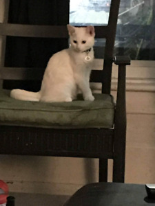 Selling pure white cat