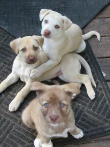 Husky | Adopt Dogs & Puppies Locally in Ontario | Kijiji