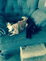 T.Y.P.E rescue ** Otis a sweet 4 yr chihuahua **