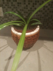 Spider plant with decorative ceramic pot with outer wicker shell