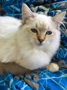 TICA Registered Ragdolls