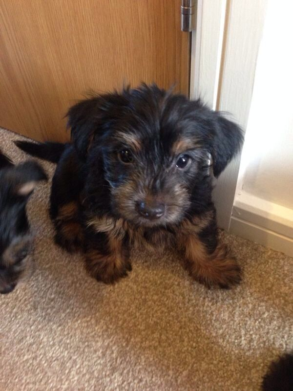 12 Week Old Yorkie Puppies In Lancashire Gumtree