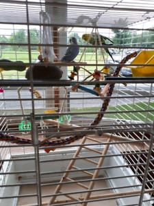 Cage avec 2 perruches et accessoires