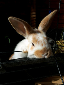 Male bunny for sale
