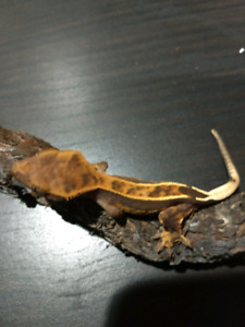 Two Available.   Beautiful Young Crested Geckos