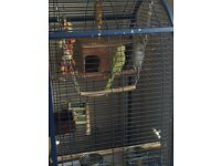 ring neck parrots x2 with cage