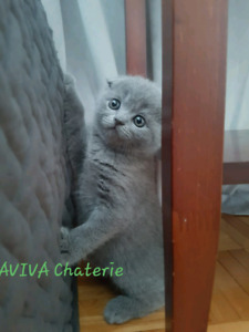 Scottish fold blue Male est FEMALLE