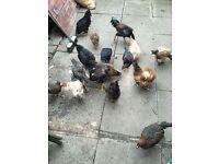 mix chickens