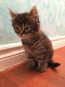 Free kittens looking for new homes! Kawartha Lakes Peterborough Area image 5