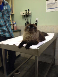 Beautiful cat looking for a home Kitchener / Waterloo Kitchener Area image 2