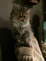 11 month exotic pure bread PERSIAN