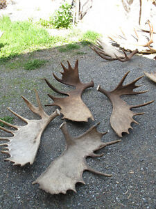 Antler Wanted