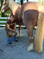 AFA Certified Farrier services
