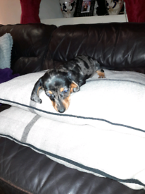 Miniature silver dapple dachshund SOLD!!!!!