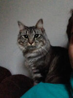 Grey Tabby neutered and declawed (100$ OBO)