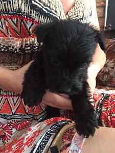 Scottish Terrier for sale!