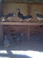 Grey Chukars For Sale.