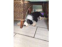 Old English sheep dog puppy