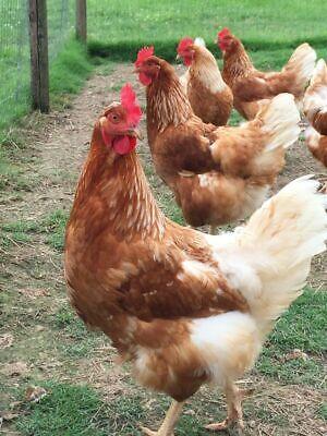 Fertile Cinnamon Queen Hatching Eggschicken