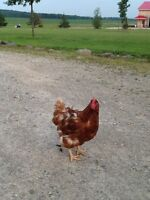 20 laying hens