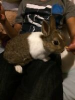 Baby dwarf bunny comes with everything!