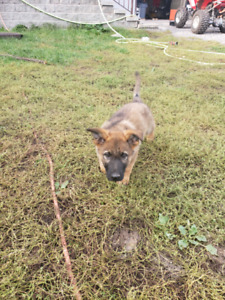 Purebred Working Line German Shepherd Puppies