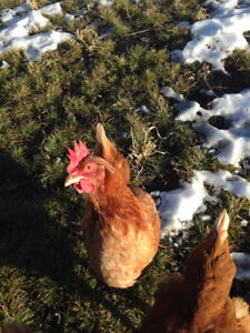 ** SOLD ** 10 YOUNG LAYER HENS