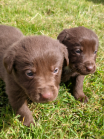 Beautiful Chocolate Labrador/Collie Pups (Borador)