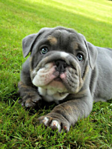 English bulldog puppies akc