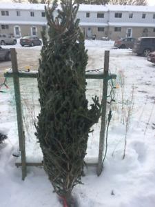 Free Real Christmas Tree