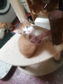 Male & Female Ginger & White & Tortoiseshell kittens ready now