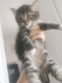 Kitten Part Maine Coon ready to go now