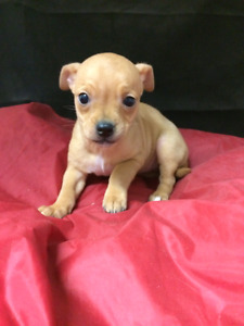 CHIHUAHUA PUPS, GORGEOUS TEACUPS , females