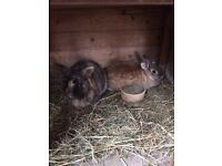 Two female rabbits