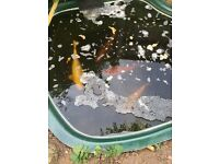 5 Large koi for sale SOLD