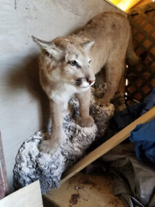 Cougar (taxidermy) with rock mount