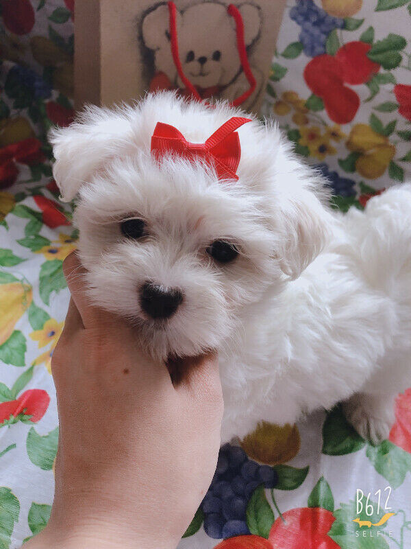 Two purebred Maltese teacup and small size✰Hypoallergenic✰