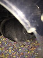 Chinchillas. 1 male  left