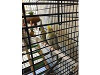 Cockatiel birds, cage & accessories