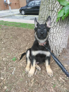 Playful German Shepard puppy for rehoming