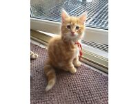 10 week old ginger kitten ready for a new home