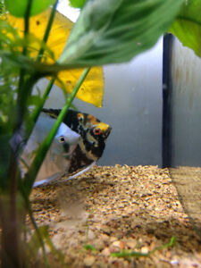$30 each male adult angelfish (marble/koi and blue)