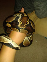 3 year old female ball python + all care accessories & supplies
