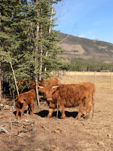 Cow/Calf for sale