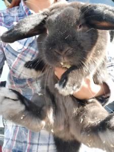 2 lapins mâles