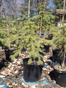 Large Discounted Colorado Blue Spruce Trees
