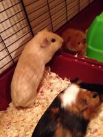 4 guinea pigs with accessories