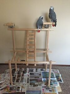 boned male and female African grey