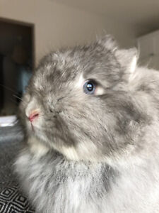 Lapin Jersey Wooly femelle 11 mois