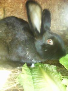 1 free  rabbit